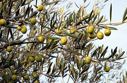 橄榄叶和橄榄油是希腊人古老的护肤秘诀